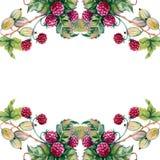 Bär av hallon och krusbär i en bukett Ram bakgrund isolerad white Fotografering för Bildbyråer