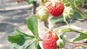 Bär av jordgubbar växer på en säng Närbild Begreppet av att växa ett sunt mål arkivfilmer