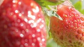 Bär av jordgubbar växer på en säng Närbild Begreppet av att växa ett sunt mål lager videofilmer