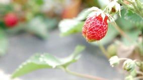 Bär av jordgubbar växer på en säng Närbild Begreppet av att växa ett sunt mål stock video
