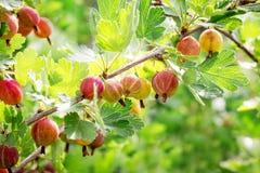 Bär av krusbär på filial i trädgården under mognad i solig weather_ arkivfoton