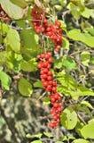 Bär av långt - den östliga växten Schisandra chinensis 25 Fotografering för Bildbyråer