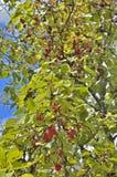 Bär av långt - den östliga växten Schisandra chinensis 11 Royaltyfri Foto
