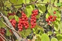 Bär av långt - den östliga växten Schisandra chinensis 2 Arkivfoto