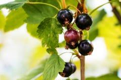 Bär av svarta vinbär i trädgård på busken Solig sommarday_ royaltyfria foton
