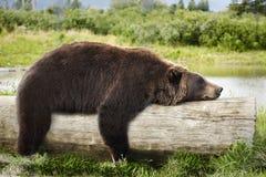 Bär, der auf einem Protokoll schläft Lizenzfreie Stockfotografie