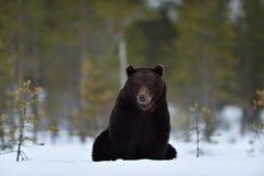 Bär, der auf Schnee sitzt Stockfotos