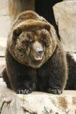 Bär, der herum schaut Lizenzfreies Stockfoto