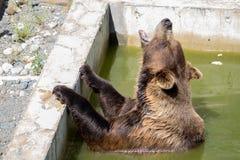 Bär, der im grünen Wasser knurrt stockbild