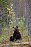 Bär, der im Wald sitzt Lizenzfreie Stockbilder