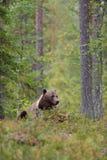 Bär, der im Wald stillsteht Lizenzfreies Stockfoto