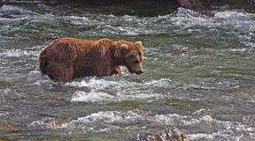 Bär, der nach Fischen sucht Lizenzfreies Stockbild