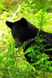 Bär, der seinen Imbiß in den Blättern findet Stockfotografie