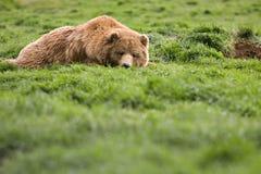Bär, der vom Gras überwacht Lizenzfreie Stockfotografie
