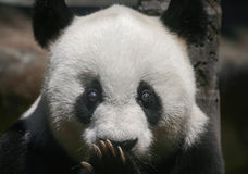 Bär des großen Pandas Basi Lizenzfreies Stockfoto