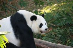 Bär des riesigen Pandas stockfotografie