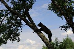 Bär in einem Baum Stockfoto