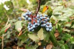 Bär för Mahoniaaquifoliumblått Royaltyfria Bilder