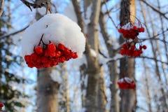 Bär för Rabin ` s i den frostiga eftermiddagen för vinter Royaltyfria Bilder