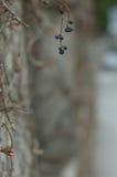 Bär för svart aska Royaltyfria Bilder