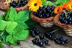 Bär för svart vinbär i en vide- korg Royaltyfria Bilder