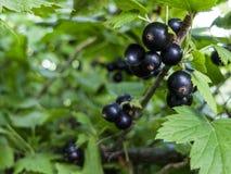 Bär för svart vinbär på en buskenärbild fotografering för bildbyråer