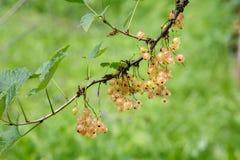 Bär för vit vinbär på en buske i trädgården Vit vinb?r p? en filialn?rbild arkivbild