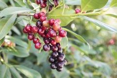 Bär frukt busken för körsbärsrött lager för Prunuslaurocerasusen som mognar på filialer arkivfoton