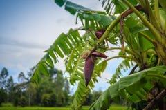 Bär frukt den gröna bananen för organiskt barn på träd med solsken i set Fotografering för Bildbyråer