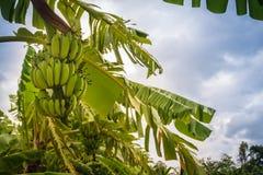 Bär frukt den gröna bananen för organiskt barn på träd med solsken i set Arkivbild