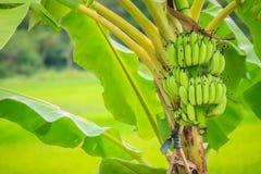 Bär frukt den gröna bananen för organiskt barn på träd med solsken i set Royaltyfri Bild