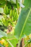 Bär frukt den gröna bananen för organiskt barn på träd med solsken i set Royaltyfria Bilder
