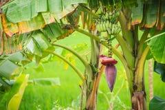 Bär frukt den gröna bananen för organiskt barn på träd med solsken i set Royaltyfri Fotografi