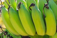 Bär frukt den gröna bananen för organiskt barn på träd med solsken i set Royaltyfri Foto