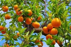 bär fruktt den orange treen royaltyfri foto