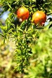 bär fruktt pomegranaten Arkivfoto