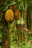 bär fruktt tropiskt Royaltyfri Bild
