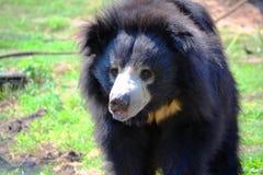 Bär gibt lustiges Gesicht Stockfoto