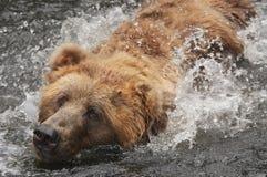 Bär im Wasser Lizenzfreies Stockbild