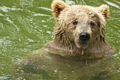 Bär im Wasser Stockbild