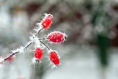 Bär med frost Royaltyfri Fotografi