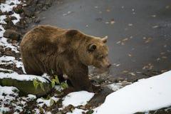 Bär nahe Wasser Stockfoto
