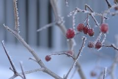 Bär och andra växter under snön arkivfoto
