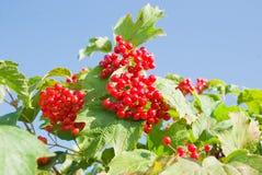 bär planterar den mogna viburnumen Royaltyfri Fotografi