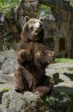 Bär sitzt lizenzfreies stockfoto