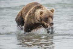 Bär sucht nach Fischen im Wasser Lizenzfreie Stockfotografie