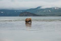 Bär sucht nach Fischen im Wasser Stockbilder