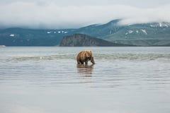 Bär sucht nach Fischen im Wasser Lizenzfreies Stockbild