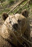 Bär (Ursus arctos) lizenzfreie stockfotos