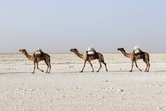 Bära för kamelhusvagn som är salt i öknen för Afrika ` s Danakil, Etiopien Royaltyfria Bilder